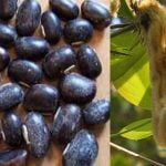 Mucuna-Pruriens-benefits